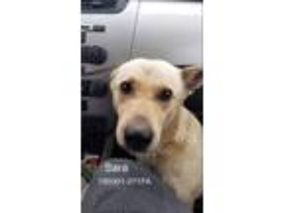 Adopt Sara a Tan/Yellow/Fawn Labrador Retriever / Mixed Breed (Medium) / Mixed