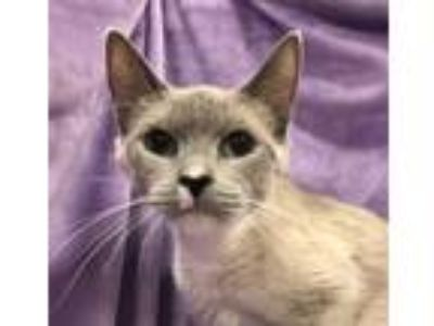 Adopt Amy a Siamese / Mixed (short coat) cat in Knoxville, TN (25658528)