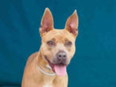 Adopt BELLA a Tan/Yellow/Fawn American Pit Bull Terrier / German Shepherd Dog /