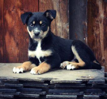 Rottsky Puppies!  (Rottweiler + Husky)