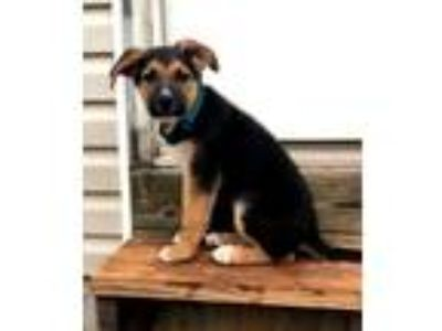 Adopt PUPPY PRINCE a Black - with Tan, Yellow or Fawn German Shepherd Dog /