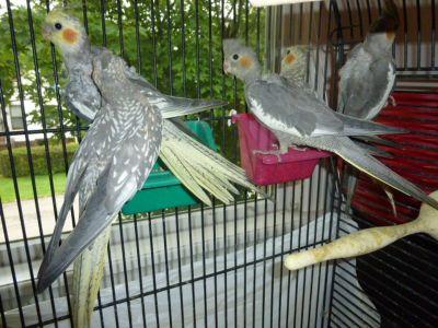 3 Cockatiels.