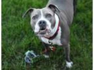 Adopt Nava a Gray/Blue/Silver/Salt & Pepper American Pit Bull Terrier / Mixed