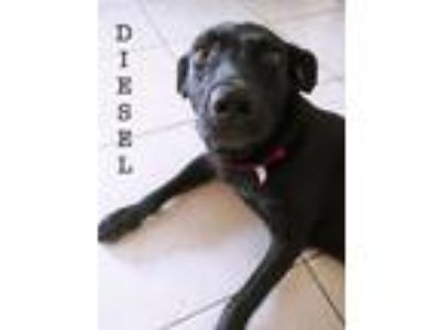 Adopt Diesel a Black Shepherd (Unknown Type) / Labrador Retriever / Mixed dog in