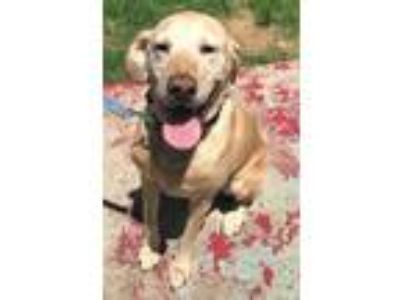 Adopt Hunter #4 a Yellow Labrador Retriever