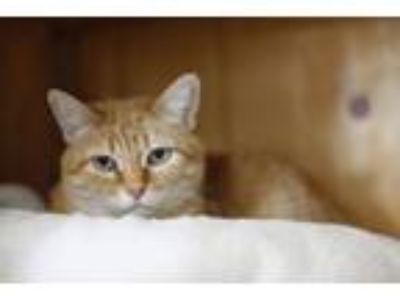 Adopt Booker a Domestic Short Hair