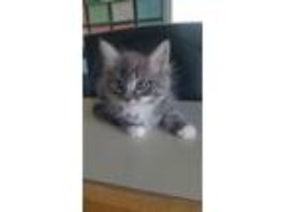 Adopt 6/5 Female Grey/White Kitten a Domestic Long Hair