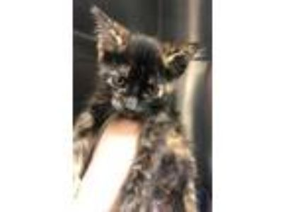 Adopt Locket a All Black Domestic Shorthair / Domestic Shorthair / Mixed cat in