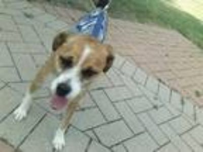 Adopt LUCKY a Brown/Chocolate - with White Jack Russell Terrier / Beagle / Mixed