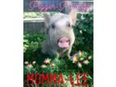 Adopt Momma Lee a Pig (Potbellied) farm-type animal in Gallatin, TN (24350119)