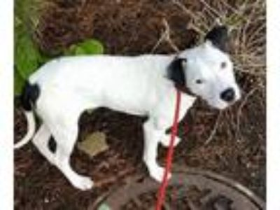 Adopt Emma Lonestar a White - with Black American Staffordshire Terrier /