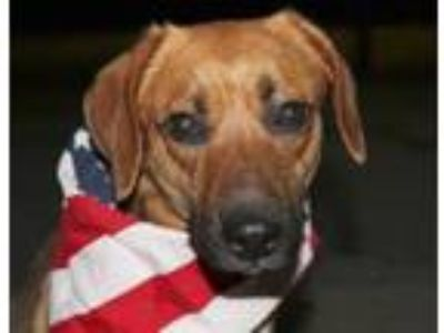 Adopt Annie a Tan/Yellow/Fawn - with White Hound (Unknown Type) / Mixed dog in