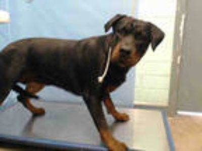 Adopt LUNA a Black - with Tan, Yellow or Fawn Rottweiler / Mixed dog in Gardena