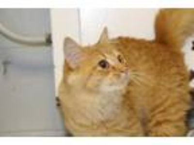 Adopt Summer a Domestic Short Hair