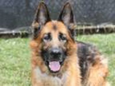 Adopt Poki a German Shepherd Dog