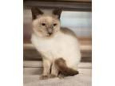 Adopt Stella a Cream or Ivory Siamese / Mixed (short coat) cat in Randleman