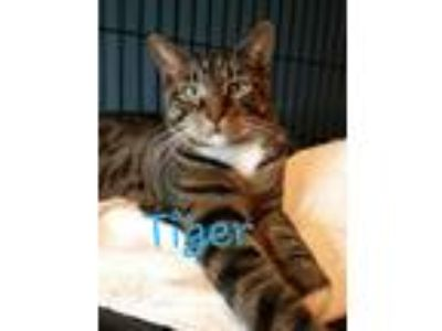 Adopt Tiger a Brown Tabby Domestic Shorthair (short coat) cat in Flushing