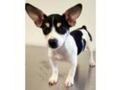 Adopt Arya a White Rat Terrier / Mixed dog in Morton Grove, IL (25274637)