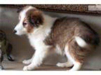Sheltie Puppy! adorable girl! micochipped