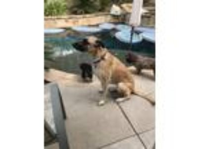 Adopt Opal a Tan/Yellow/Fawn - with Black German Shepherd Dog / Great Dane dog