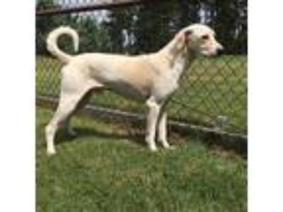 Adopt a White Labrador Retriever / Mixed dog in Grovetown, GA (25815478)