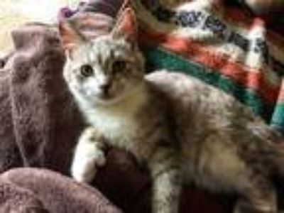 Adopt Winston a Gray or Blue (Mostly) Domestic Shorthair (short coat) cat in