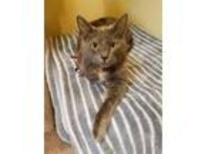 Adopt Marshmallow a Gray or Blue Domestic Shorthair / Domestic Shorthair / Mixed