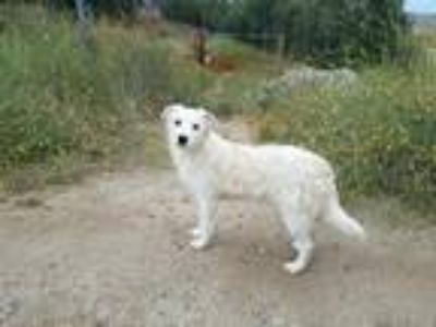 Adopt Jasper a White Spaniel (Unknown Type) / Jack Russell Terrier / Mixed dog