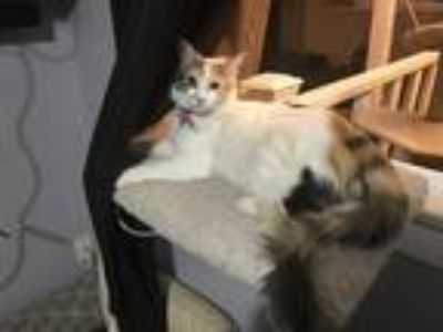 Adopt Nala a Calico or Dilute Calico Calico / Mixed cat in Riverside