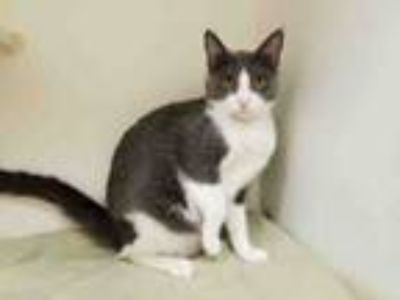 Adopt ELSA a Domestic Short Hair