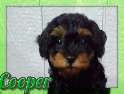 Cooper Male Cavapoo
