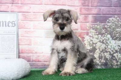 Schnauzer (Miniature) PUPPY FOR SALE ADN-95899 - Hank Smart Male Miniature Schnauzer Puppy