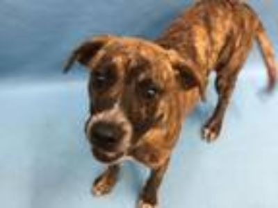 Adopt Prancer a Hound, Mixed Breed
