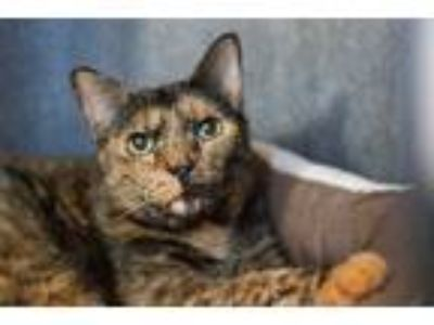 Adopt Lady Longcat a Tortoiseshell Domestic Shorthair (short coat) cat in Los