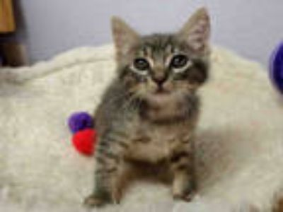 Adopt *PORTHOS a Gray, Blue or Silver Tabby Domestic Shorthair / Mixed (short