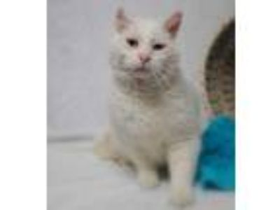 Adopt Coco (C19-112) a White Domestic Shorthair / Domestic Shorthair / Mixed cat