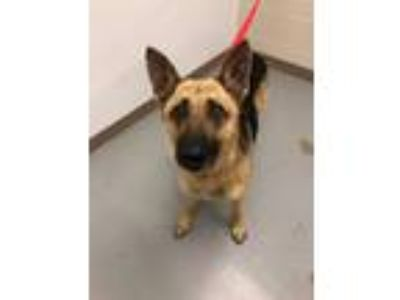 Adopt Sentry a German Shepherd Dog