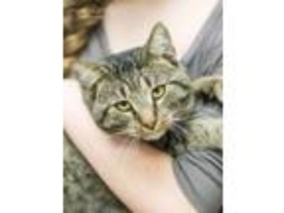 Adopt Hillman a Domestic Short Hair