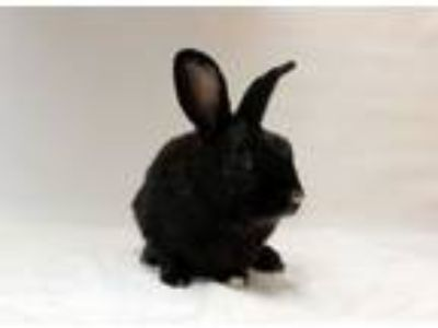 Adopt Willy a Bunny Rabbit