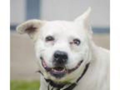 Adopt Eeyore a Labrador Retriever