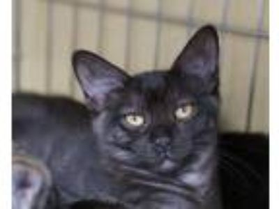 Adopt Carol a Black (Mostly) Domestic Shorthair / Mixed (short coat) cat in