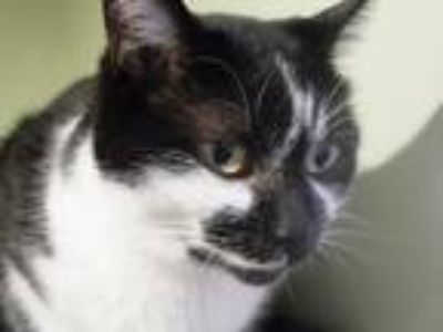 Adopt Princess a Black & White or Tuxedo American Shorthair (short coat) cat in