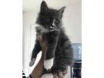 Adopt Uno a Gray or Blue Domestic Shorthair / Domestic Shorthair / Mixed cat in