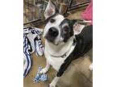 Adopt Dexter a Cattle Dog