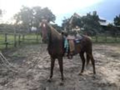 2000 registered Tennessee Walker Mare good for beginners