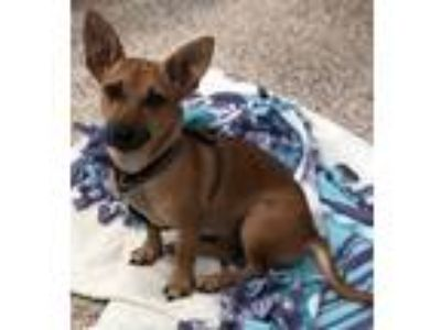 Adopt Evangeline a Brown/Chocolate - with Black Dachshund / Mixed dog in