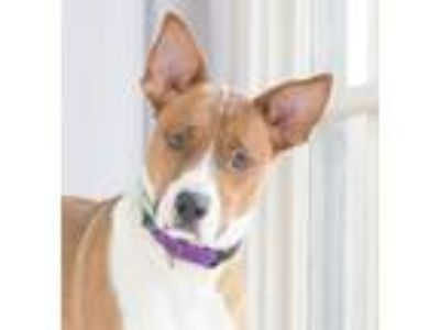Adopt SCOUT a Tan/Yellow/Fawn - with White Cattle Dog / Hound (Unknown Type) /