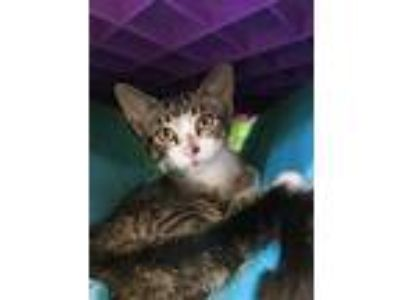 Adopt JERMAINE a All Black Domestic Shorthair / Domestic Shorthair / Mixed cat