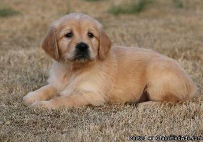 Lucky Cute M/F Golden Retriever Puppies