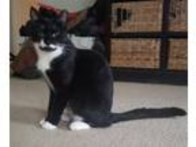 Adopt Blaine a Black & White or Tuxedo Domestic Shorthair (short coat) cat in